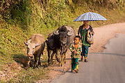 15 MARCH 2013 -   OUDOMXAY, LAOS:   A family walks their water buffalo (or carabao) to a new field in the mountains south of the city of Oudomxay in rural Laos. Traditional beasts of burden, like the carabao, are being replaced by tractors in rural Laos.  PHOTO BY JACK KURTZ