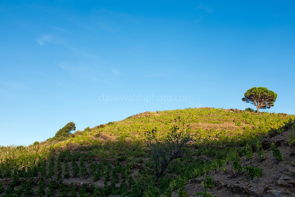 Grape vines for Banyuls wine, Cote Vermeille, Pyrenees Orientale, France