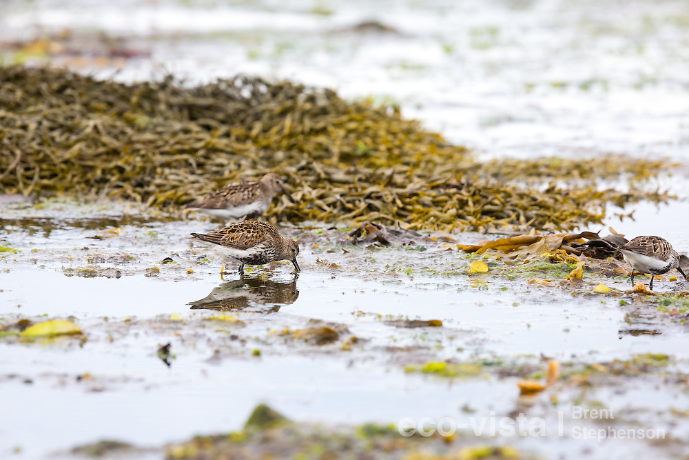 Several dunlin (Calidris alpina) feed in shallow tidal pools amongst seaweed on the shoreline. These birds are still in breeding plumage, and will be migrating south and moulting into non-breeding plumage over the next few weeks. Flatey, West Fjords, Iceland. July.