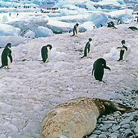 ANTARCTICA. Weddell Seal (Leptonychotes weddellii) sleeps on rocky beach on Paulet Island, near Adelie penguins (Pygoscelis adeliaeon) and icebergs in Weddell Sea.
