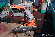 crew member of longline vessel removes fins from porbeagle shark, Lamna nasus, in a legal and managed fishery; fins and carcasses are landed separately, but must be equivalent in number; Nova Scotia, Canada ( North Atlantic Ocean )