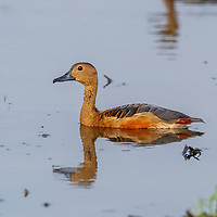 The lesser whistling duck (Dendrocygna javanica), also known as Indian whistling duck or lesser whistling teal, is a species of whistling duck that breeds in the Indian subcontinent and Southeast Asia. They are nocturnal feeders that during the day may be found in flocks around lakes and wet paddy fields.