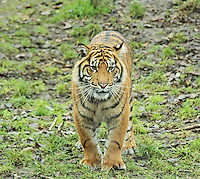 Sumatran Tiger, ZSL London Zoo Annual Stocktake 2015, Regents Park, London UK, 05 January 2015, Photo By Brett D. Cove