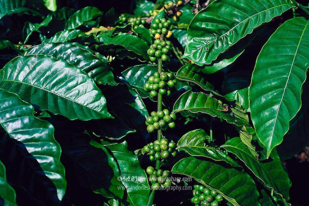 Coffee, Lampung, Sumatra, Indonesia.