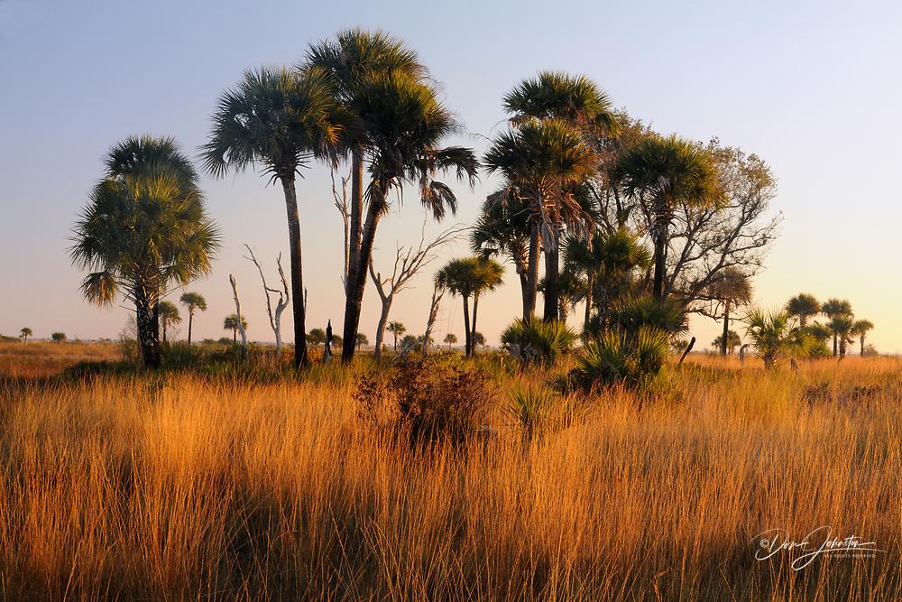 Sabal palms in grassland at sunset, Kissimmee Prairie Preserve State Park, Florida, USA