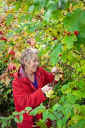Carol Klein taking hardwood cuttings from Viburnum opulus (Guelder Rose)