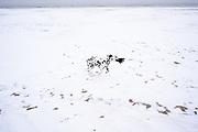 Dalmatiër op het besneeuwde strand op Scheveningen, winter 2021