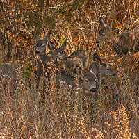 Mule Deer (Odocoileus hemionus) are almost camouflaged as they watch for predators on a hillside in Montana's northern Madison Range.