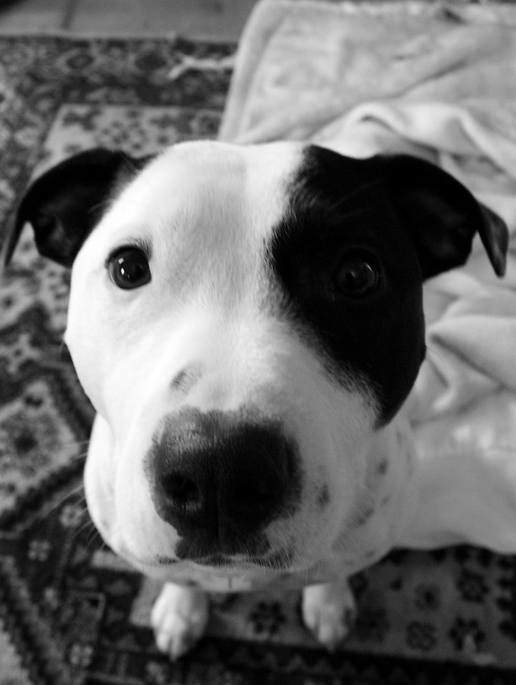 Spike as a young boy, sitting patiently for a treat. Staffys are much misunderstood dogs. They are the dogs the media love to criminalise but are loving family companion animals if treated with respect.