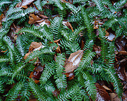 Green fronds of common polypody, Polypodium vulare, coated with corn snow and sleet, eastern summit of Droop Mountain, Beartown State Park, West Virginia.