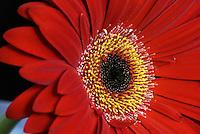 Red Daisy macro