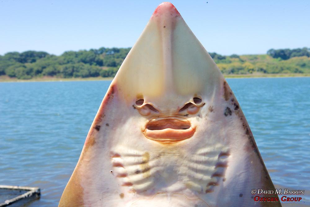 Shovelnose Guitarfish