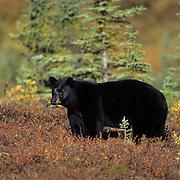 Black Bear, (Ursus americanus) Adult in red tundra. Fall. Denali National Park. Alaska.