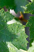 Vine leaf. Semillon. Despagne Vineyards and Chateaux, Bordeaux, France