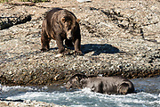 Two large Grizzly bear boars watch each other as they pass along the upper McNeil River falls at the McNeil River State Game Sanctuary on the Kenai Peninsula, Alaska. The remote site is accessed only with a special permit and is the world's largest seasonal population of brown bears.