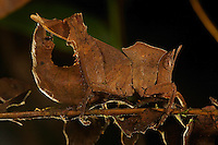 A close-up of a grasshopper camouflaged like a dead leaf.