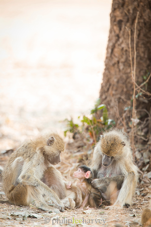 Family of Baboons at Luangwa River Valley, Zambia, Africa