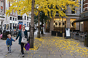 Yellow leaves from a Ginkgo tree fall during Autumn. London, UK.