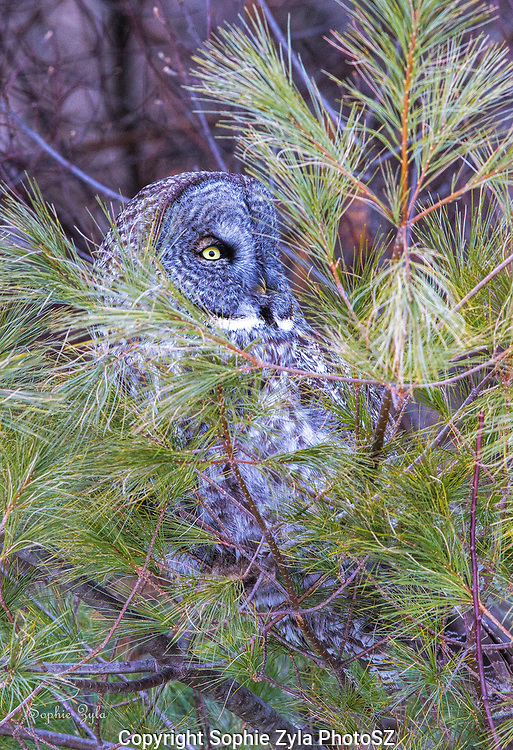 Great Gray Owl Looking like a Branch