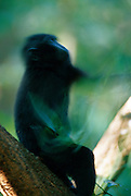Celebes Crested Macaque (Macaca nigra) | Schnell biegt der Schopfmakake Zweige um, um dort Insekten zu finden.