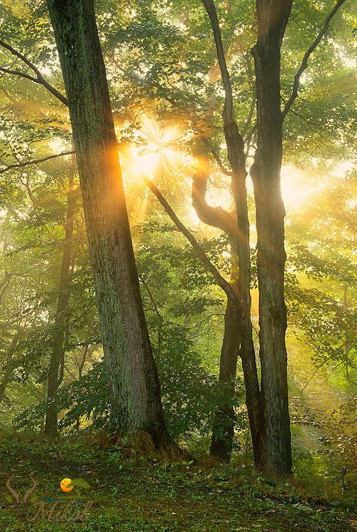 Sun flaring through green-leaved deciduous trees  at Letchworth state park.