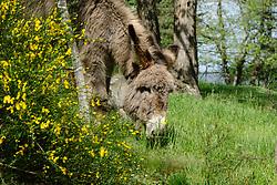 Ezel, Equus africanus asinus