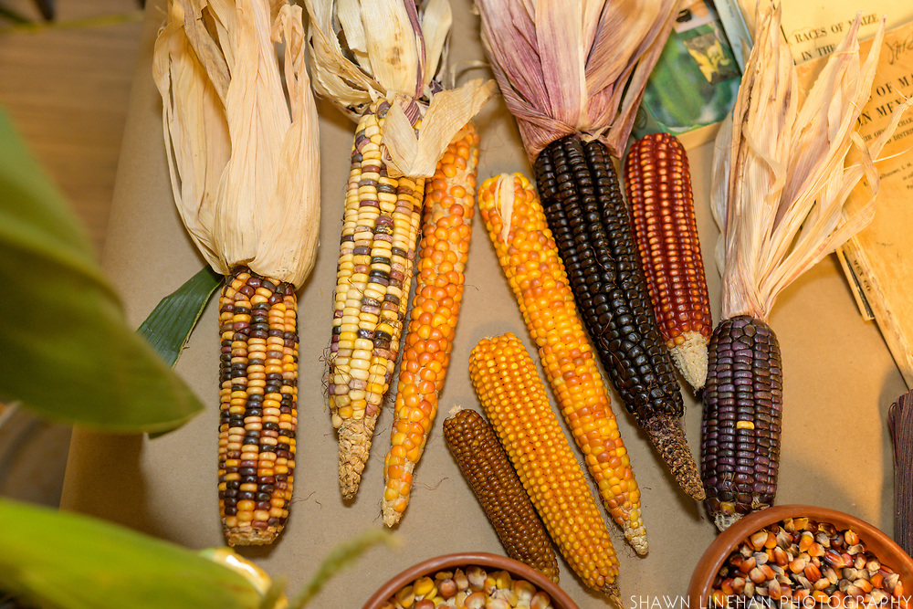 CORN<br /> Curator: Jay Bost, GoFarm Hawai'i Chef: Ray German, Hawaii Masa<br /> Zea mays, revered throughout its native range and now one of the most widely grown crops in the world, has been selected by humans to present a wide diversity of forms. The change in a single (or few genes) alters corn to produce ears that are floury, dented, waxy, sweet, or pop. Likewise simple gene changes produce white, yellow, red, purple and blended kernel colors.<br /> Highlighted are some of the breeding work carried out by James Brewbaker who actively selected corn for disease resistance in Waimanalo for around 50 years. The breeding populations here have the gene known as brittle-1 which interrupts the formation of starch from the sugars in the kernels - giving us a sweet corn. Dr Brewbaker's materials are relatively unique in the world to use this gene, most other old sweet corns rely on the sugar gene, and modern sweet corns rely on the shrunken-2 gene. Sweet corns with brittle-1 have been found to germinate better in tropical soils.