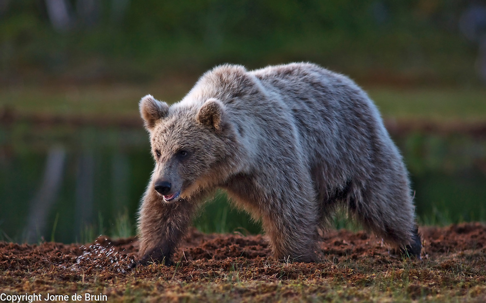 An Eurasian Brown Bear walks at the edge of a lake in the forest in Finland.
