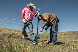 "Bud Walsh and Denver Baker modify a fence to make it more wildlife friendly. The design helps eliminate or substantially reduce the number of injuries and deaths to wildlife. The Nature Conservancy is working with ranchers in Eastern Montana on the Matador ""grass bank"" project. The ""grass bank"" is an innovative way to leverage conservation gains, in which ranchers can graze their cattle at discounted rates on Conservancy land in exchange for improving conservation practices on their own ""home"" ranches. In 2002, the Conservancy began leasing parts of the ranch to neighboring ranchers who were suffering from several years of severe drought essentially offering the Matador's grass to neighboring ranches in exchange for their  participation in conservation efforts. Thirteen ranchers graze their cattle on the Matador and the grassbank has enabled TNC to leverage conservation on more than 225,000 additional acres of private land without the cost of purchase of the land or of easements. The grassbank has helped keep ranchers from ""busting sod,"" or  plowing up native grassland to farm it; helped remove obstacles to pronghorn antelope migration; improved habitat for the Greater Sage-Grouse and reduced the risk of Sage-Grouse colliding with fences; preserved prairie dog towns (thereby preserving an important food source for the endangered black-footed ferret) and prevented the spread of noxious weeds. (Photo By Ami Vitale, May 9, 2013)"