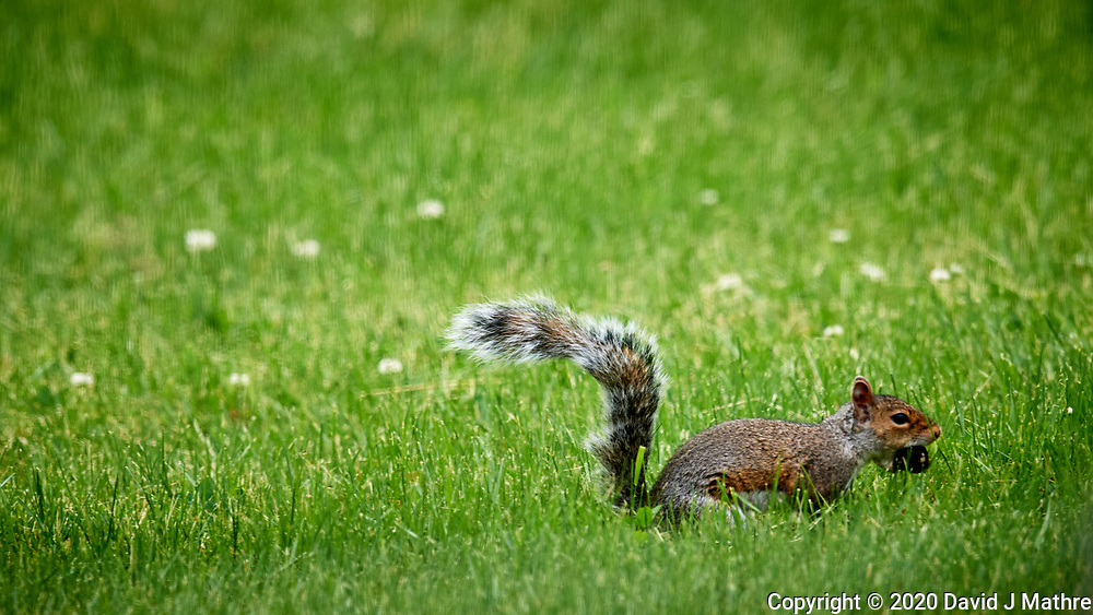Squirrel running with a Black Wallnut.  Image taken with a Nikon D5 camera and 600 mm f/4 VR telephoto lens.