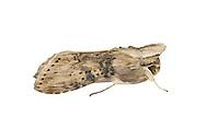 Wormwood - Cucullia absinthii<br /> 73.050 (2211)