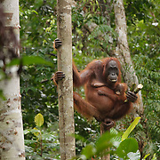 Orangutan mother with young baby feeding on sugarcane Tanjung Puting National Park. Central Kalimantan region, Borneo.