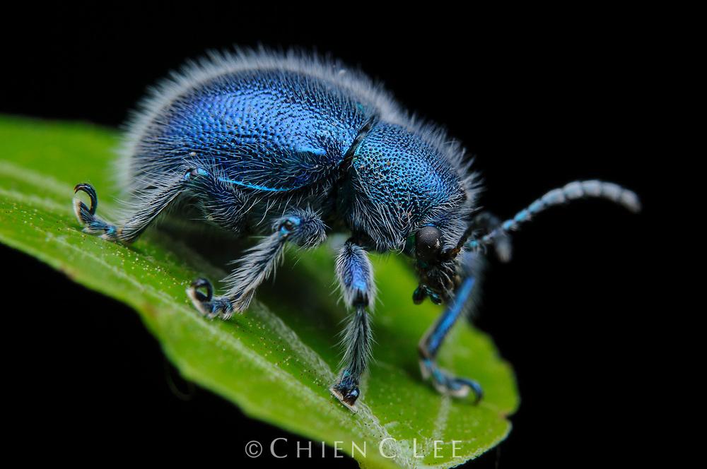 Leaf beetle (Trichochrysea hirta). Sarawak, Malaysia (Borneo).
