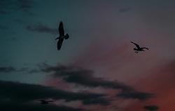 THEMENBILD - Möwen am Himmel bei Sonnenuntergang, aufgenommen am 14. August 2019 in Rijeka, Kroatien // Seagulls in the sky at sunset in Rijeka, Croatia on 2019/08/14. EXPA Pictures © 2019, PhotoCredit: EXPA/ JFK