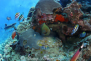 coral reef scene with giant moray eel, Gymnothorax javanicus, whitetip shark, Triaenodon, obesus, and tropical reef fish, Shark Reef Marine Reserve, Beqa Passage, Viti Levu, Fiji ( South Pacific )