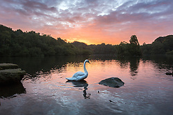 © Licensed to London News Pictures. 22/09/2015. Leeds, UK. A swan enjoys the early morning light at Golden Acre park in Leeds on the first day of astronomical Autumn which happens with the Equinox of September the 22/23. Photo credit: Andrew McCaren/LNP