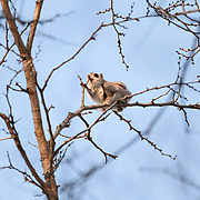 This is a Pteromys volans orii Japanese dwarf flying squirrel foraging at dawn. It is high in the canopy, around 15-20m, not far from its nest. The tree is a Japanese elm (Ulmus davidiana var. japonica), one of several prime food sources for this species. As seen here, these flying squirrels consume the leaf buds of this tree.