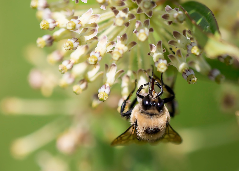 A Busy Bee Gathers Pollen In The Garden