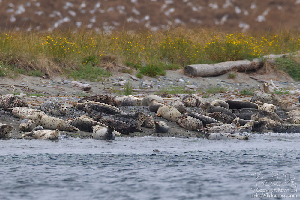 A large group of harbor seals (Phoca vitulina), including many young pups, rest on the beach of Protection Island National Wildlife Refuge near Port Townsend, Washington as hundreds of gulls fly in the background. Protection Island, located at the mouth of Discovery Bay in the Strait of Juan de Fuca, is a 364-acre island that serves as pupping grounds for hundreds of harbor seals as well as a summer home for 72 percent of the seabirds that nest in the Puget Sound area.
