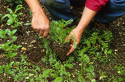 Thinning out seedlings<br /> Transplanting