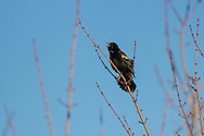 Mamakating, New York - A red-winged blackbirds sings at the Bashakill Wildlife Management Area on March 24, 2015.