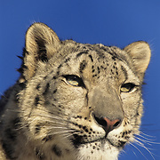 Snow leopards inhabit the high mountains of central Asia. Captive Animal