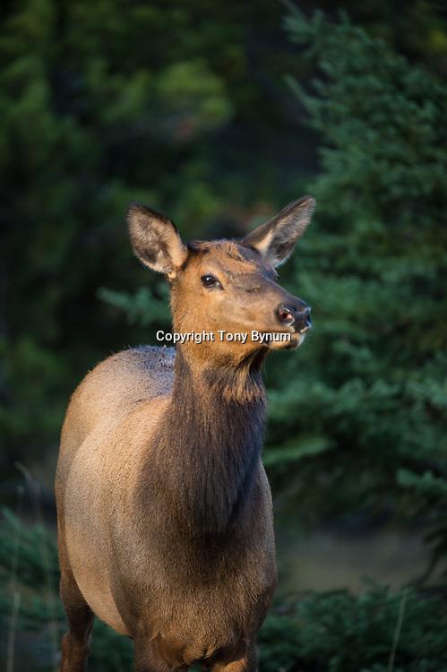 cow elk in evening light