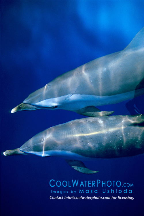 pantropical spotted dolphins, Stenella attenuata, bow-riding, Big Island, Hawaii, Pacific Ocean