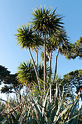 Macrocarpa and Palm trees