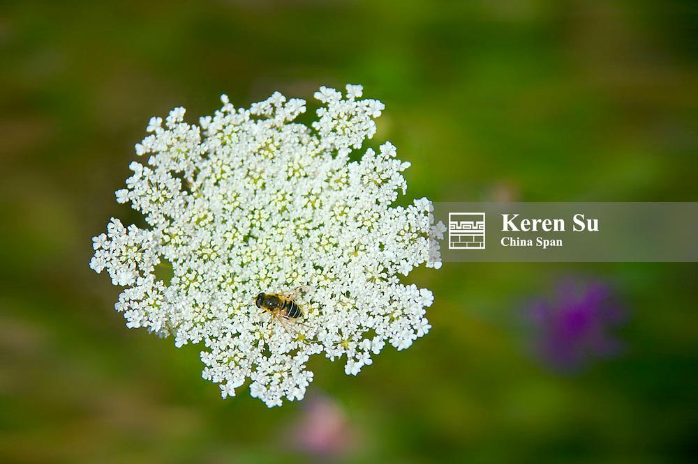 Wild flowers, St. Goars-Hausen, Germany