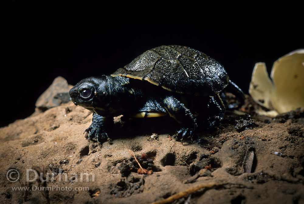 Western pond turtle (Clemmys marmorata) having just hatched out of its egg. Columbia River Gorge, Washington USA. Temporarily captive/controlled conditions.
