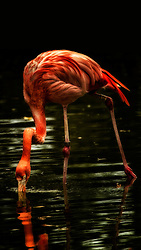 A Pink Flaming Searches For Food In The Shadows