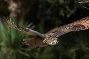 Eurasian Eagle Owl in flight at the Center for Birds of Prey November 15, 2015 in Awendaw, SC.
