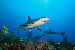 Caribbean reef sharks, Carcharhinus perezii, West End, Bahamas, Atlantic Ocean